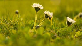 Daisy. Small daises with white petals in green grass. During sundown Stock Images