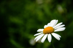 Daisy. Small flower with white petal and yellow middle Royalty Free Stock Image