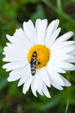Daisy with a small insect Stock Photography