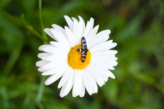 Daisy with a small insect Royalty Free Stock Images