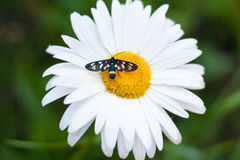 Daisy with a small insect Stock Image