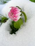 Daisy in the snow Royalty Free Stock Image