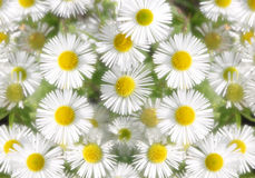 Daisy soft Royalty Free Stock Image