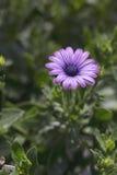 Daisy - Soprano Purple Royalty Free Stock Images
