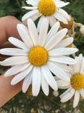 Daisy royalty free stock photography