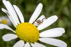 Daisy with spider. Bellis perennis has one botanical name and many common names, including perennial daisy, lawn daisy, common daisy. Photography is made in my royalty free stock photo