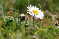 A daisy in the spring Stock Images