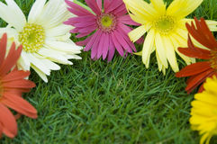 Daisy - spring flower border Stock Photos