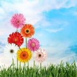 Daisy. Spring Flower Single Flower  Family Gerbera  Grass Royalty Free Stock Photos