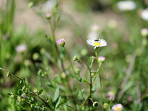 Daisy spring flowering. Stock Photography