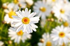 Daisy Spring Flowers Stock Images