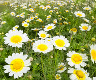 Daisy spring flowers field yellow and white meadow Stock Photography
