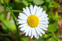 Daisy spring flowers Stock Photos