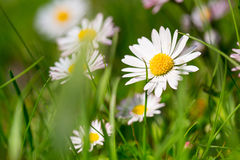 Daisy spring flowers Royalty Free Stock Photos