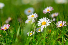 Daisy spring flowers Royalty Free Stock Images