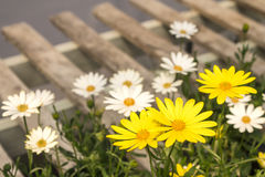 Daisy spring flowers on wood pallet, with fresh scent and wood grain in fuzzy blurred background. Royalty Free Stock Photo