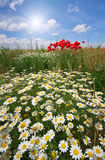 Daisy spring meadow. Royalty Free Stock Images