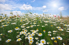 Daisy spring meadow Royalty Free Stock Photo