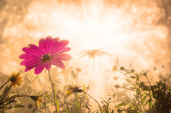 Daisy, spring sunrise flowers Stock Photography