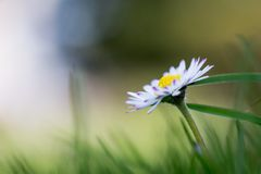 Daisy in springtime: Close up picture. Close up picture of daisy blossom in spring springtime summer flower meadow white pure purity clarity innocent wallpaper stock image