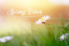 """Daisy in springtime: Close up picture and morning sun, Text """"Spring Vibes. Close up picture of daisy blossom in spring, Text """"Spring Vibes springtime royalty free stock photo"""