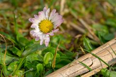 daisy stands on a green meadow in the morning dew royalty free stock photos