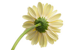 Daisy with stem Stock Image