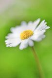 Daisy - Stokrotka. Single makro flower deisy on green background Stock Photos