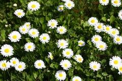 daisy Stokrotka kwitnie w wiośnie na łące w zielonej trawie w naturze Marguerite kwiaty motyla opadowy kwiecisty kwiatów serca wz Obraz Stock