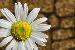Daisy and Stone Background. Close-up of an Ox-Eye Daisy with rock background Stock Images