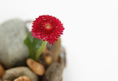 Daisy on the stone. A red daisy on the stone Royalty Free Stock Images