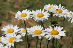 Daisy. Summer field with white daisies Stock Photo