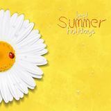 Daisy summer flower. Chamomile Royalty Free Stock Photo