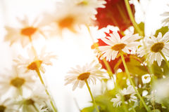 Daisy summer garden flowers at abstract background Stock Images