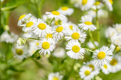 Daisy in summer meadow Stock Image