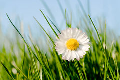 Daisy in the sun Royalty Free Stock Photo