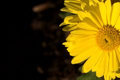 Daisy and sun. Daisy with sunlight, selective focus Stock Images
