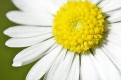 Daisy sun flower. In the morning Royalty Free Stock Photos