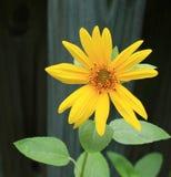 Daisy Sunflower royalty-vrije stock foto's