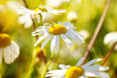 Daisy. Sunny daisies in the summer garden Royalty Free Stock Photography