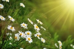 Daisy and sunray. White daisy flowers and sunray royalty free stock images