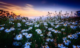 Daisy sunset stock image