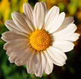 Daisy in the Sunshine. Daisy flower in the Summer sun stock photo