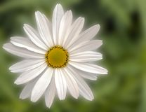 Daisy surrounded by blurred background Royalty Free Stock Images