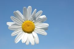 Daisy suspended in the sky Royalty Free Stock Images