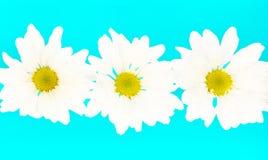 daisy szalone Fotografia Royalty Free
