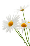 daisy tło białe Fotografia Royalty Free