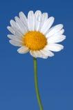 Daisy Tears Stock Foto's