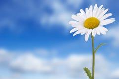 Daisy tegen blauwe hemel Stock Fotografie