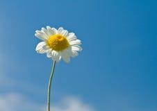 Daisy tegen blauwe hemel Royalty-vrije Stock Foto's